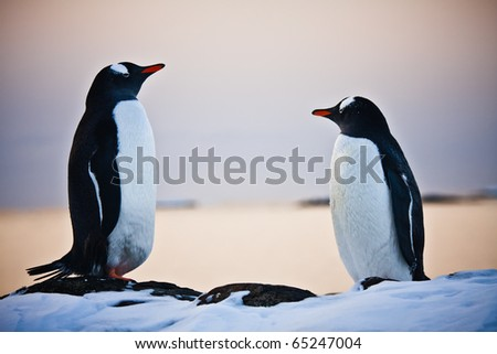two identical penguins resting on the stony coast of Antarctica - stock photo