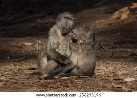 Two immature chacma baboon friends in forest, Cape Town - stock photo