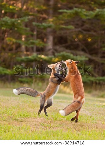 Two immature foxes playfully fighting each other - stock photo