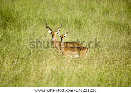 Two Impala in the middle of green grass of Lewa Wildlife Conservancy, North Kenya, Africa - stock photo