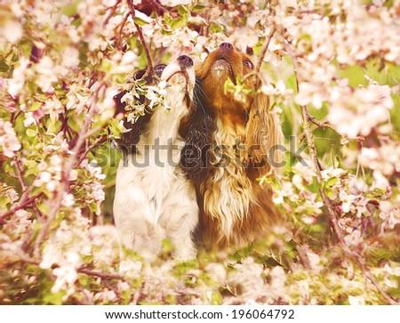 two in love cavalier king charles spaniel dog  - stock photo