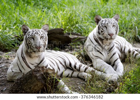 Two Indian white tigers in forest - stock photo