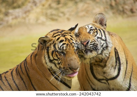 Two Indochinese tigers rub cheeks. The Indochinese tiger (Panthera tigris corbetti) is a tiger subspecies found in the Indochina region of Southeastern Asia. - stock photo