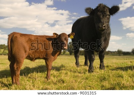 Two inquisitive juvenile cows in a springtime field - stock photo