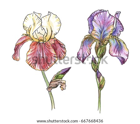 Petunia flower botanical drawing sketch realistic stock vector two iris flower of on a white background black and white outline illustration with color pronofoot35fo Image collections
