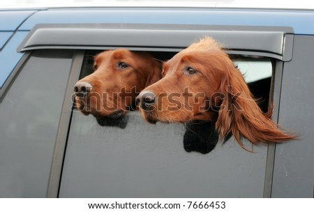 two irish setters looking out of car window - stock photo