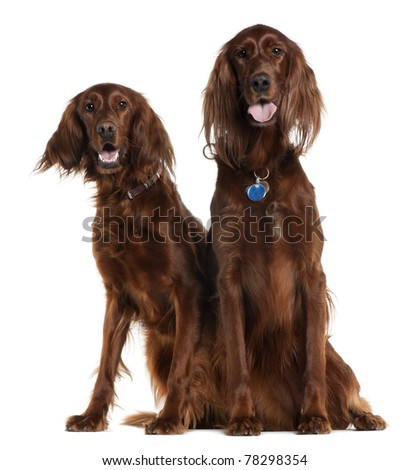 Two Irish Setters sitting in front of white background - stock photo