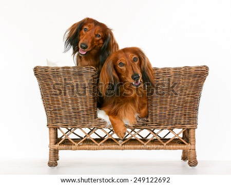 Two isolated purebred brown longhaired dachshund dogs sitting in dog sofa.