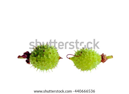 Two isolated young fruit chestnut Castanea fallen on the ground - stock photo