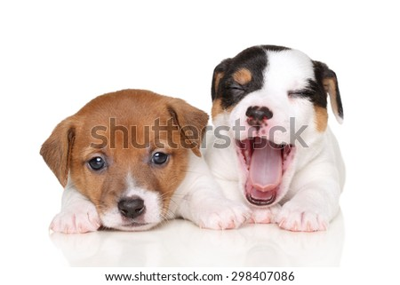 Two Jack Russell puppies lying on white background - stock photo
