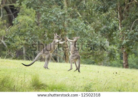 two jumping and fighting kangaroos in australia - stock photo