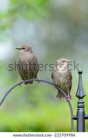 Two juvenile common starlings (Sturnus vulgaris) perch on the stand of a bird feeder in an urban British garden. Vertical format with copy space. - stock photo