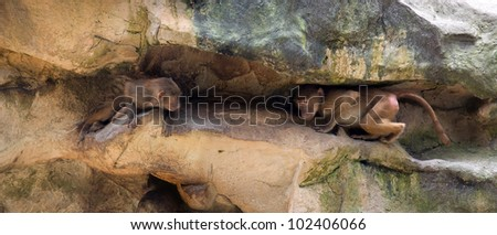 Two juvenile Hamadryas baboons playing and hiding - stock photo
