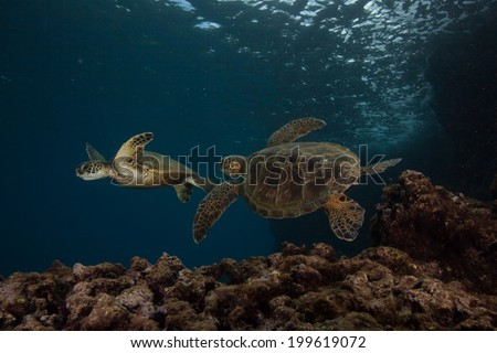 Two juvenile sea turtles playing near the reef - stock photo