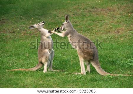 two kangaroos boxing - stock photo
