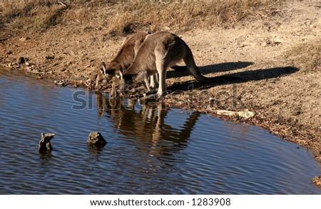 Two kangaroos drinking at a pool - stock photo