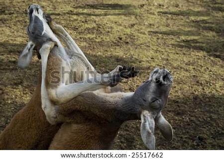 Two kangaroos fight - stock photo