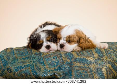 Two King Charles Cavalier Spaniel puppies sleeping  - stock photo