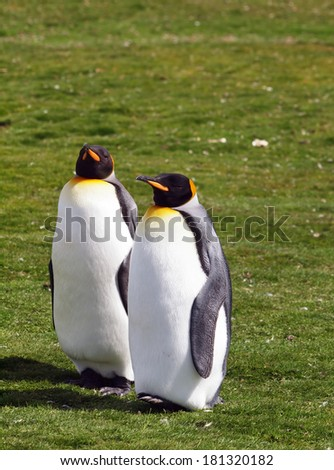 Two King Penguins at Volunteer Point in the Falkland Islands. - stock photo
