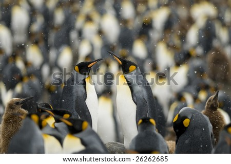 Two king penguins standing out from the colony in the snow - stock photo
