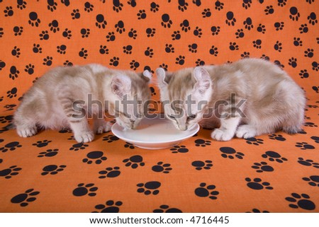 Two Kittens drinking milk from saucer on orange background with pawprints - stock photo