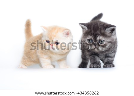 two kittens exotic grey and beige on a white background.