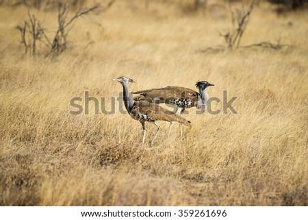 Two Kori Bustard (Ardeotis kori) walking in the grasslands of Etosha in Namibia, Africa. - stock photo
