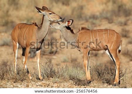 Two kudu antelopes (Tragelaphus strepsiceros) in natural habitat Kalahari desert, South Africa - stock photo