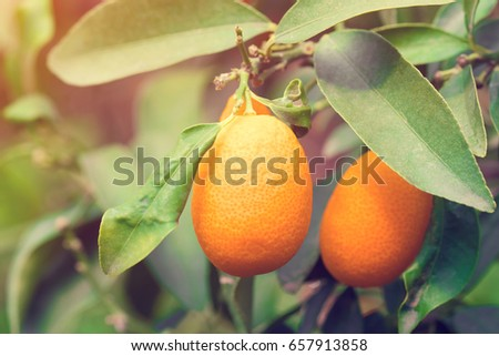 two kumquat leaves on branches stock photo royalty free 657913858