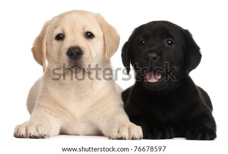 Two Labrador puppies, 7 weeks old, in front of white background - stock photo