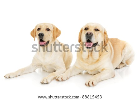 Two Labrador Retriever dogs isolated on a white background - stock photo