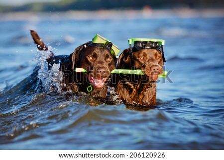 two labrador retriever dogs with snorkel equipment - stock photo