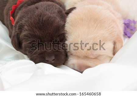 two labrador retriever puppies (one week old)
