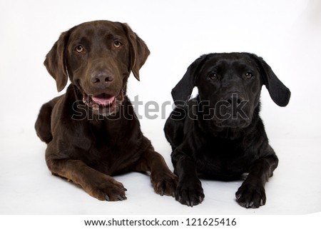 two Labradors laying Isolated on white