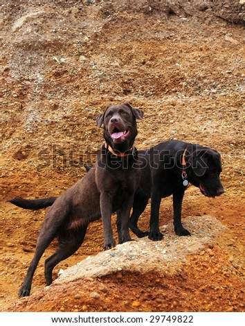 Two labs exploring the golden cliffs - stock photo