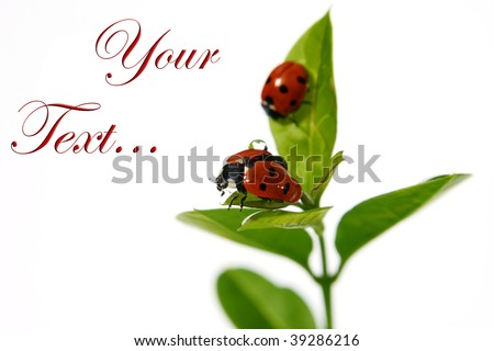 two ladybirds after the rain - stock photo