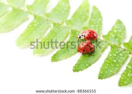 two ladybirds on green leaf isolated on a white background - stock photo