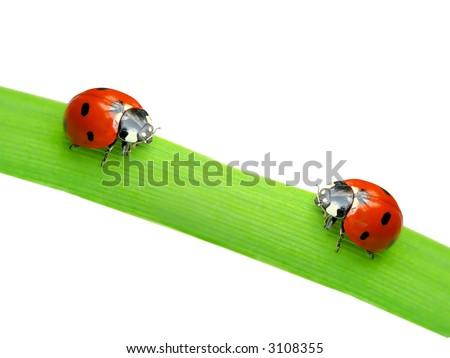 Two ladybugs on green leaf isolated  on white - stock photo