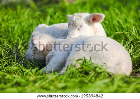 Two lamb sleep on the ground after a good meal - stock photo