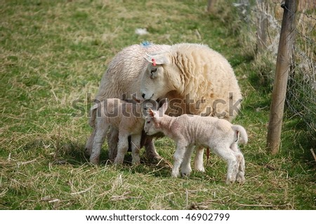 two lambs and a sheep mother
