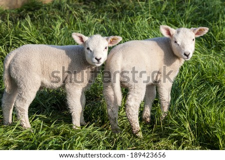 Two lambs in a field.