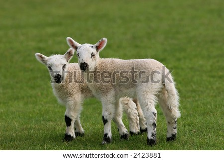 Two lambs standing together in a field in spring. - stock photo