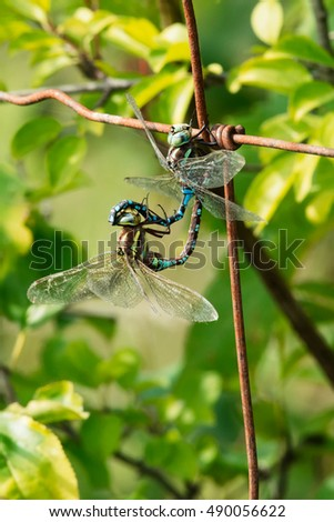 Two Lance-tipped Darner Dragonflies mating on a rusty fence.