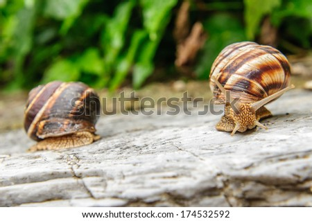 Two land snail standing on a rock next to each other