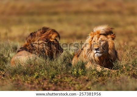 Two large lions in the long grass in the Ngorongoro Conservation Area, Tanzania - stock photo