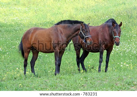 Two large Spanish horses standing in a field on the Costa del Sol in Spain