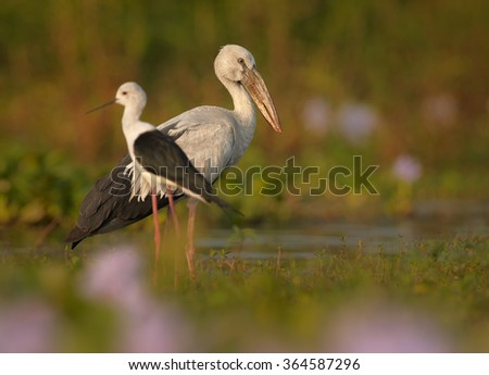 Two large wading bird  Anastomus oscitans Asian Openbill stork standing in water full of  purple flowering water hyacinth,colorful late afternoon light, pink foreground,blurred background.Sri Lanka.