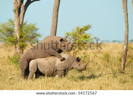 Two Large white (square-lipped) rhinoceros (Ceratotherium simum) mating in the nature reserve in South Africa
