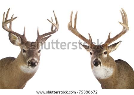 Two large whitetail bucks isolated on white background - stock photo