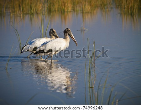 Two large wood storks wade in pond